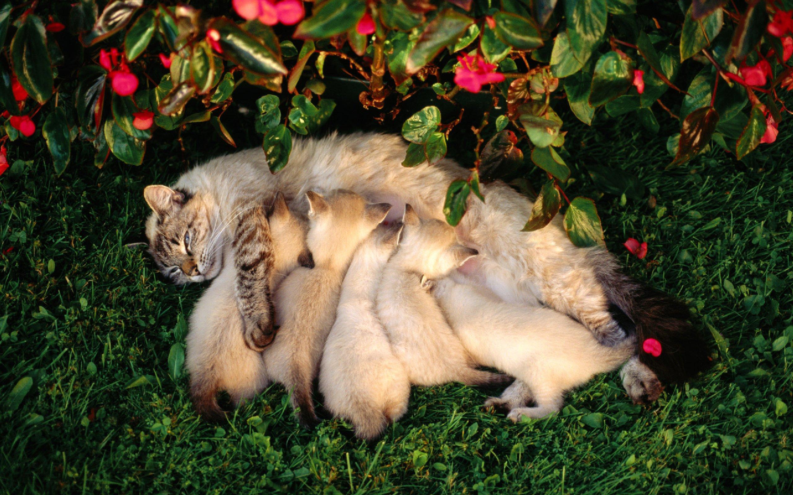 Картинки Кошка, котята, мама, кормление, забота, семья обои, фото.