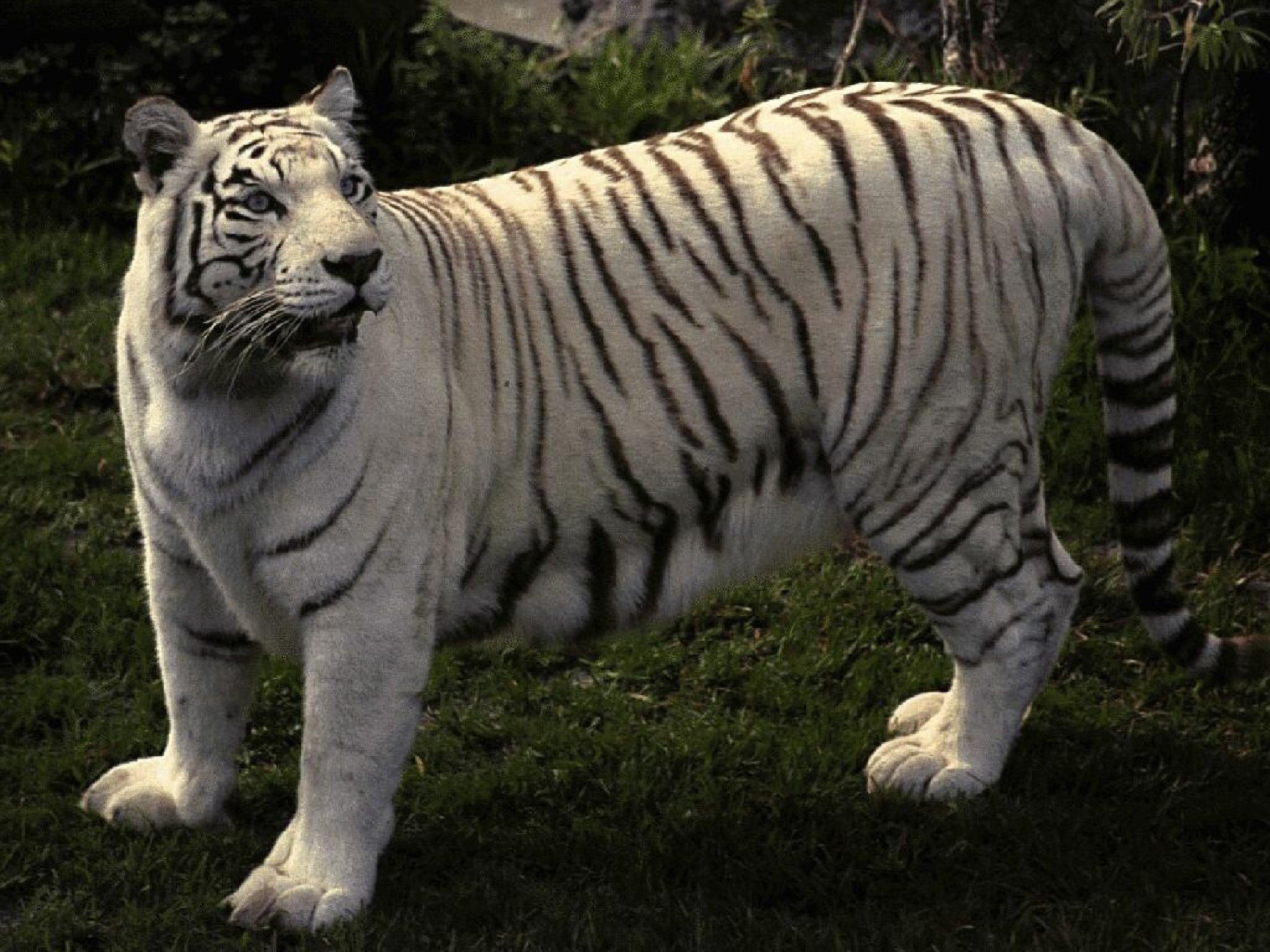 Животные тигры картинки 5