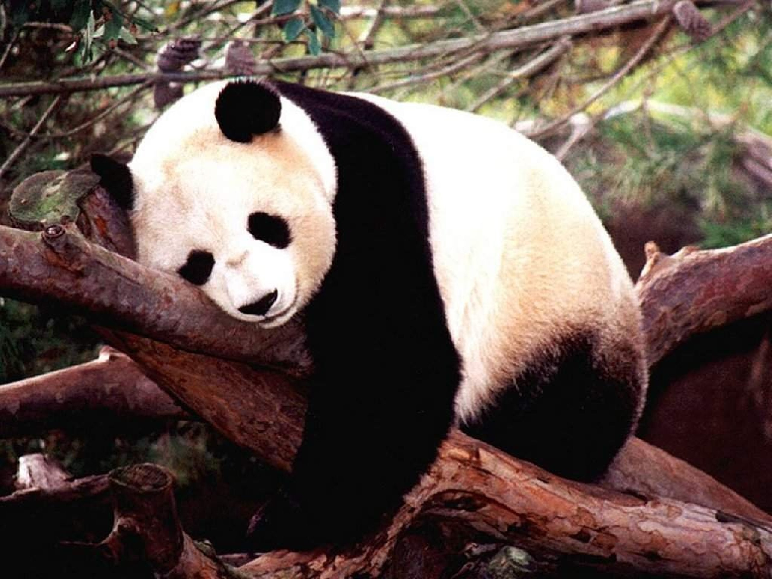 an overview of the diet and other characteristics of the panda a bear species