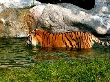 tiger_taking_a_bath-2560x1600