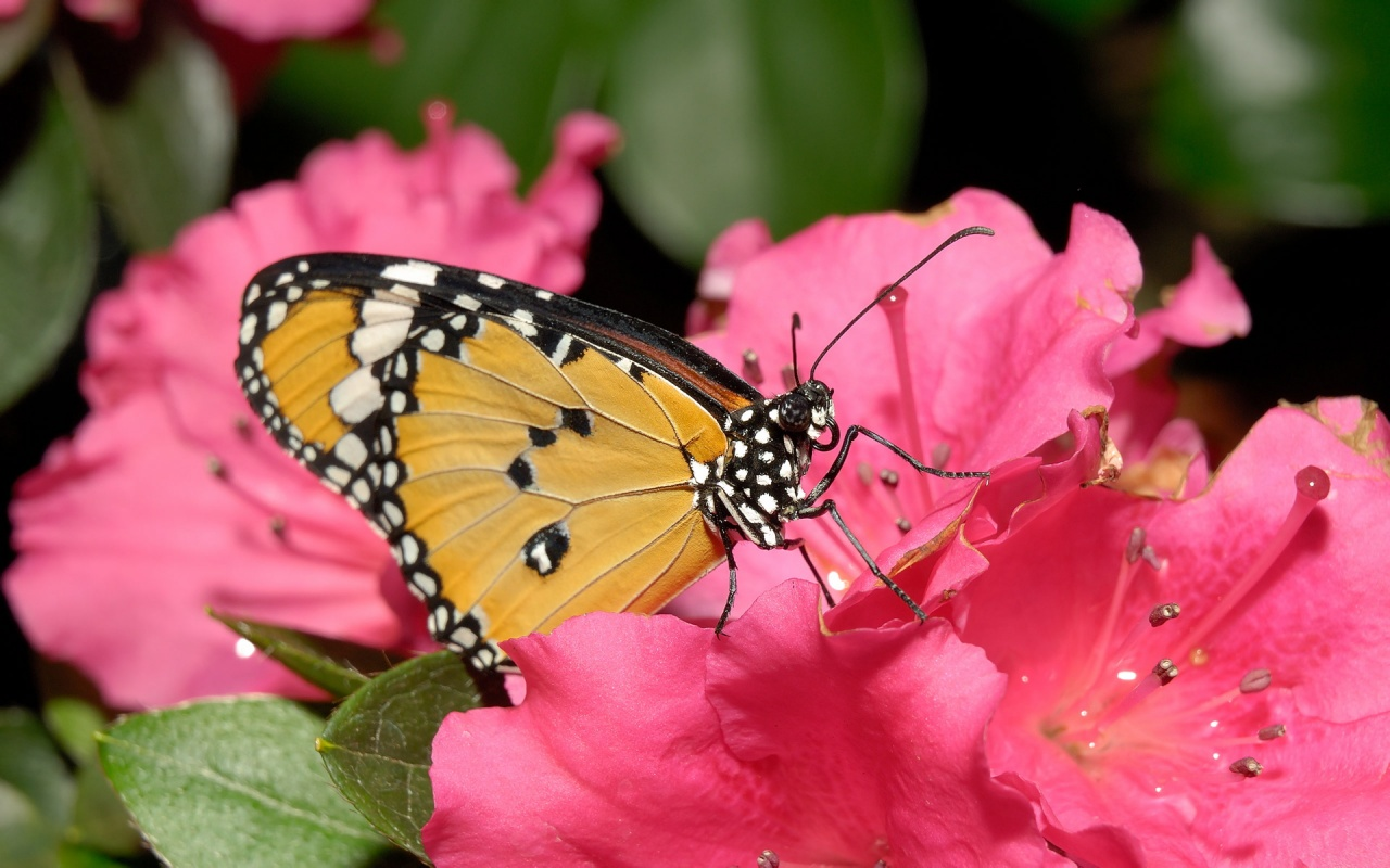 zwierzeta - owady - butterfly_on_a_rose-1280x800