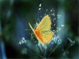 yellow_butterfly_2-1680x1050