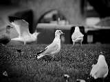 family_of_gulls-1920x1080