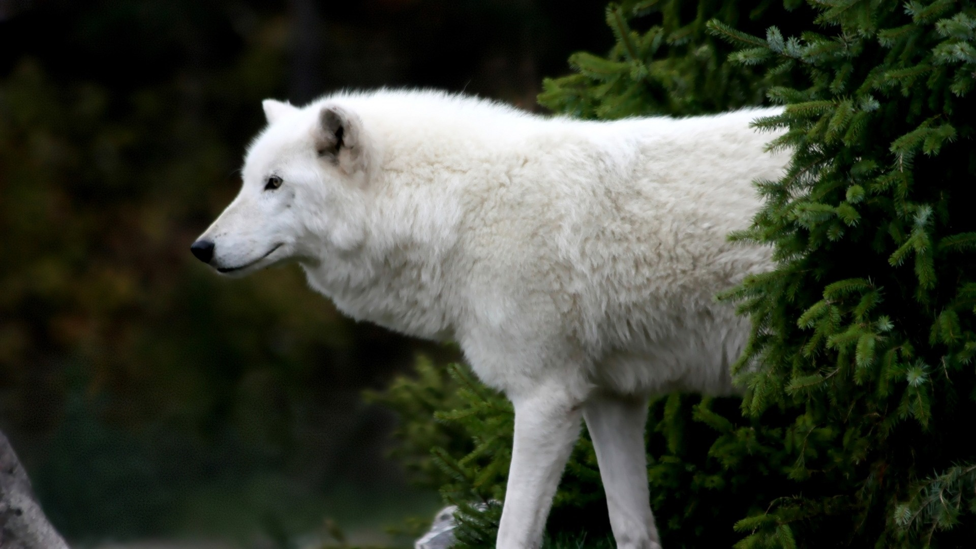 white wolf wallpaper 378844
